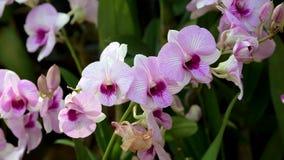Fiori rosa dell'orchidea che fioriscono nel giardino video d archivio