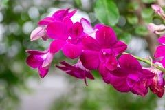 Fiori rosa dell'orchidea con il fondo naturale del bokeh Immagini Stock Libere da Diritti