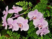 Fiori rosa dell'orchidea con la pianta della felce del maiderhair Fotografie Stock Libere da Diritti