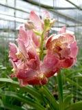 Fiori rosa dell'orchidea del primo piano nella scuola materna dell'orchidea Immagine Stock