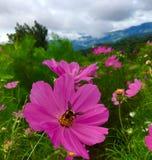 Fiori rosa dell'universo che fioriscono nel giardino nella stagione delle pioggie con lo sciame dell'ape fotografia stock libera da diritti