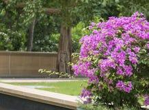 Fiori rosa 2 della buganvillea fotografia stock