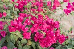 Fiori rosa della buganvillea immagine stock libera da diritti