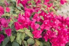 Fiori rosa della buganvillea immagini stock libere da diritti