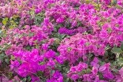 Fiori rosa della buganvillea fotografia stock