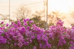 Fiori rosa della buganvillea Fotografie Stock