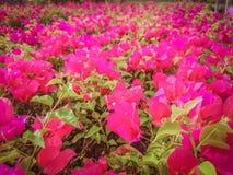 Fiori rosa della buganvillea Fondo Immagine Stock Libera da Diritti