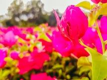 Fiori rosa della buganvillea Fondo Fotografie Stock Libere da Diritti