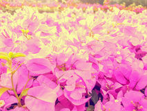 Fiori rosa della buganvillea Fondo Fotografie Stock