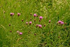 Fiori rosa della copertura in alta erba verde Fotografia Stock Libera da Diritti