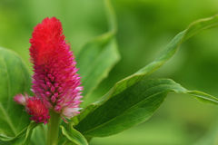 Fiori rosa della cresta di gallo Fotografie Stock