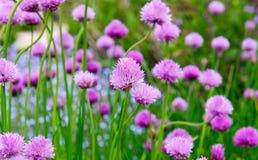 Fiori rosa della erba cipollina, allium schoenoprasum Fotografia Stock