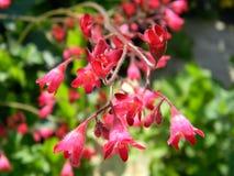 Fiori rosa della fine del heuchera su fotografia stock