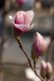 Fiori rosa della magnolia Immagine Stock Libera da Diritti