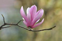 Fiori rosa della magnolia del fiore Immagini Stock