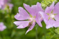 Fiori rosa della malva con l'ape Chiuda sul punto di vista dell'ape di lavoro o Immagine Stock Libera da Diritti