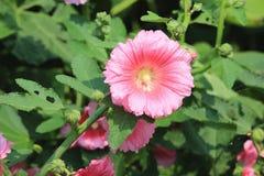 Fiori rosa della malvarosa che fioriscono nel giardino Immagine Stock