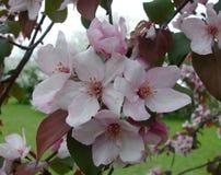 Fiori rosa della molla Fotografie Stock