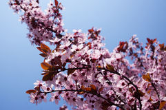 Fiori rosa della molla in fiore Immagine Stock