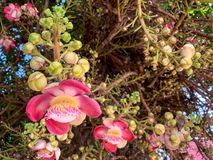 Fiori rosa della palla di cannone di colore che fioriscono sull'albero fotografie stock libere da diritti