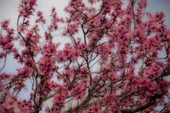 Fiori rosa della pesca in primavera fotografie stock libere da diritti