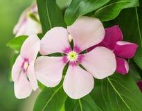 Fiori rosa della vinca in natura Immagini Stock