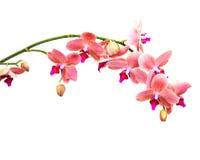 Fiori rosa delle orchidee Immagine Stock Libera da Diritti