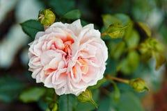 Fiori rosa delle rose sul contesto del bokeh Fondo floreale con il fuoco selettivo molle Immagine tinta stile d'annata Fotografie Stock