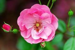 Fiori rosa delle rose sul contesto del bokeh Fondo floreale con il fuoco selettivo molle Immagine tinta stile d'annata Immagine Stock
