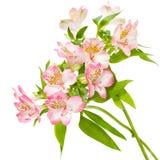 Fiori rosa di Alstroemeria Fotografia Stock