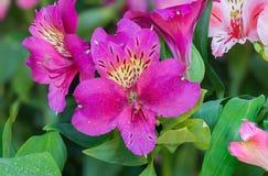 Fiori rosa di Alstroemeria Fotografia Stock Libera da Diritti