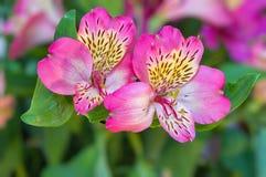 Fiori rosa di Alstroemeria Immagini Stock Libere da Diritti