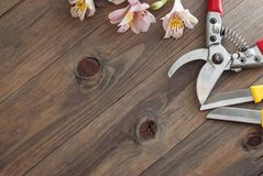 Fiori rosa di Alstromeria su fondo di legno con gli strumenti floristici del giardino ed il bordo floreale rustico del cavo Immag Fotografia Stock Libera da Diritti