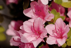 Fiori rosa di Azalia Immagine Stock Libera da Diritti