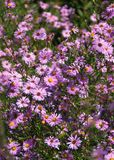 Fiori rosa di caduta degli aster Fotografia Stock