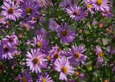 Fiori rosa di caduta degli aster con le api Fotografie Stock