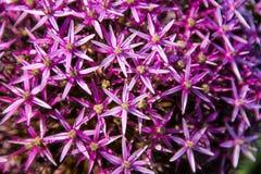 Fiori rosa di Christophii dell'allium Fotografia Stock Libera da Diritti