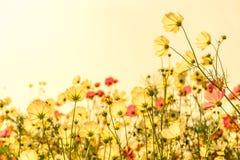 Fiori rosa di fioritura dell'universo immagine stock libera da diritti