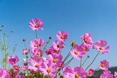 Fiori rosa di fioritura dell'universo fotografia stock