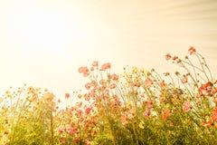 Fiori rosa di fioritura dell'universo fotografia stock libera da diritti