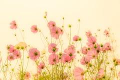 Fiori rosa di fioritura dell'universo fotografie stock libere da diritti