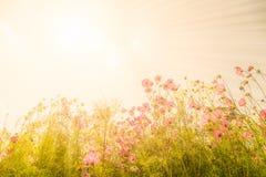 Fiori rosa di fioritura dell'universo immagini stock libere da diritti