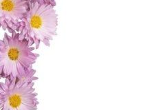 Fiori rosa di fioritura su un fondo bianco Immagine Stock Libera da Diritti