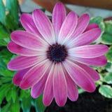 Fiori rosa di Margaret Fotografia Stock
