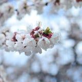 Fiori rosa di melo con i fiori bianchi sul fondo del cielo blu fotografia stock libera da diritti