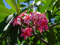 Fiori rosa di plumeria del frangipane su un albero in grande isola, Hawai fotografia stock libera da diritti