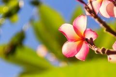 Fiori rosa di plumeria del primo piano nell'ambito di effetto del chiarore di luce solare fotografia stock libera da diritti