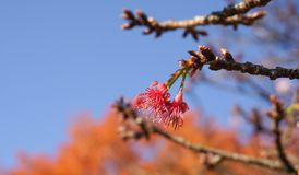 Fiori rosa di sukura del fiore di ciliegia Fotografia Stock Libera da Diritti
