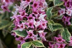 Fiori rosa di un Weigela Florida cespuglio Fotografia Stock Libera da Diritti
