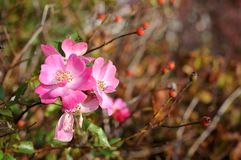 Fiori rosa di una rosa canina Fotografie Stock